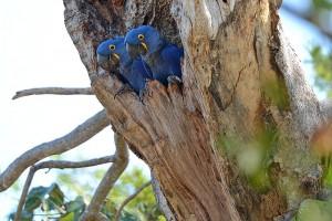 Macaw pair in nest